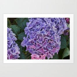 pink hydrangea in bloom Art Print
