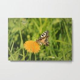 The Old World swallowtail (Papilio machaon) Metal Print