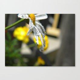 Dripping Daisy  Canvas Print