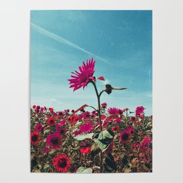 Pink Sunflowers Poster
