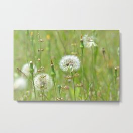 Dandelion field Metal Print