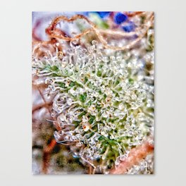 Skywalker OG Kush Strain Frosty Buds Calyxes Trichomes Close Up View Canvas Print