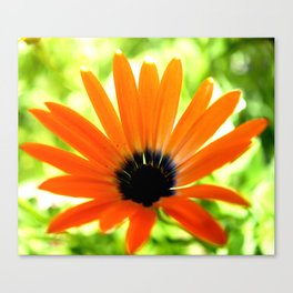 Solar orange daisy flower Canvas Print