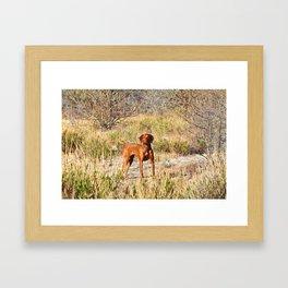 Nikita - Hungarian Vizsla Framed Art Print