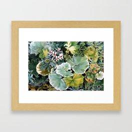 Geraniums Galore Framed Art Print