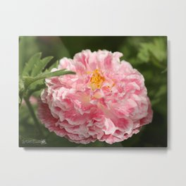 Poppy from the Angel's Choir Mix Metal Print