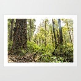 Schrader Old Growth Forest Art Print