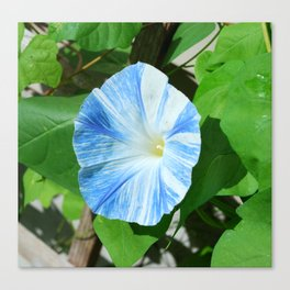 Blue Marbled Morning Glory Canvas Print