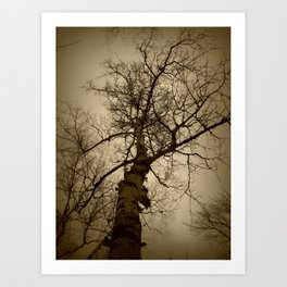 Birch Tree Art Print