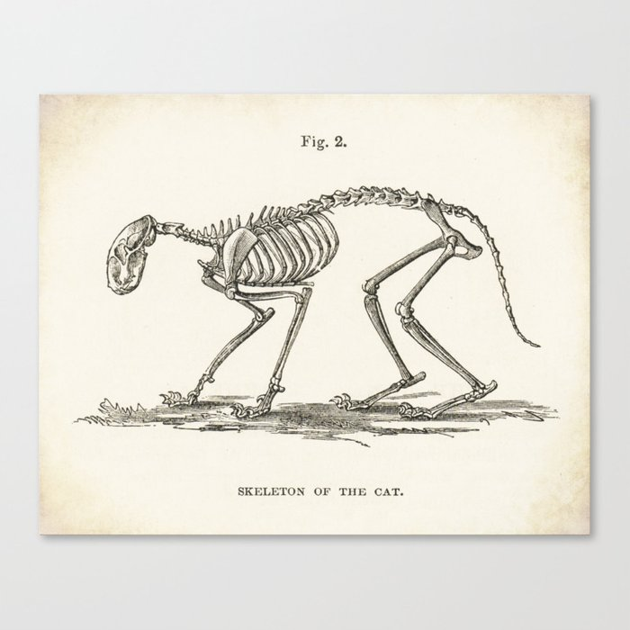 Illustration Of A Cat Skeleton Anatomy Medical Bones Canvas