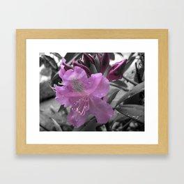 Lavender Rhododendron Framed Art Print