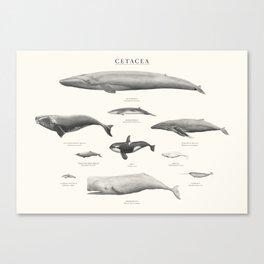 Cetacea Canvas Print