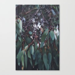 Gum Nuts Canvas Print