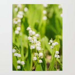 May Lily Blooming Poster