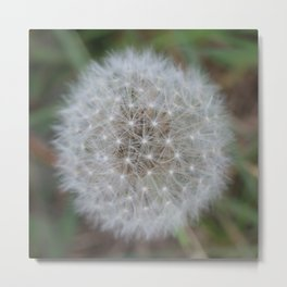 Dandelion Florets waiting to fly off Metal Print