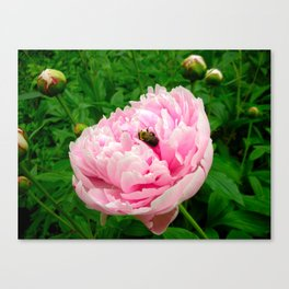 Bumble Bee on a Pink Peony Canvas Print