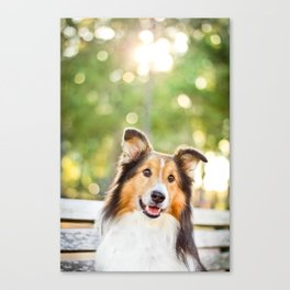 Sheltie Canvas Print