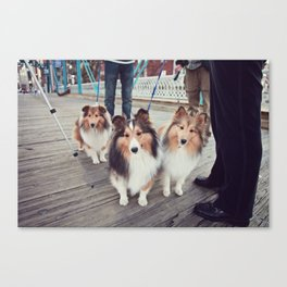 Shelties Canvas Print