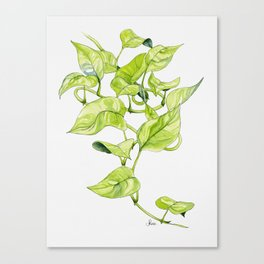 Devils Ivy Illustration Canvas Print