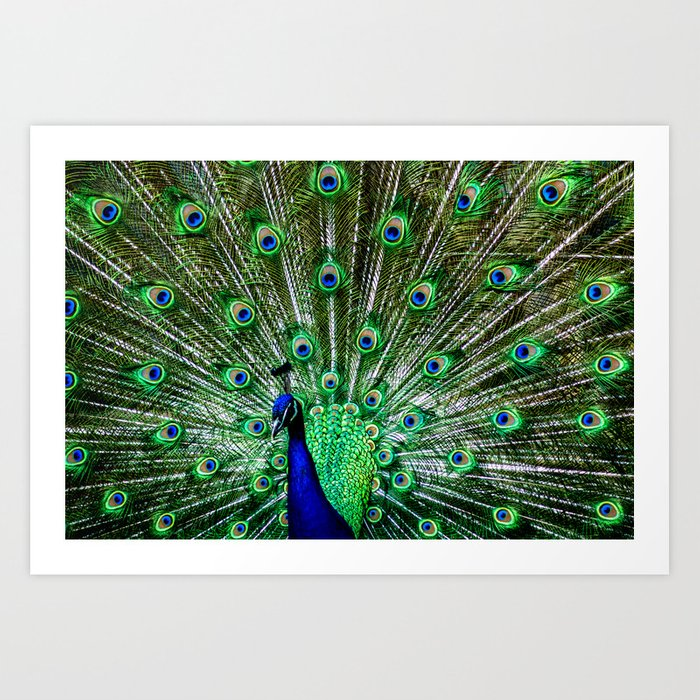 The peacock of Hellabrunn Art Print