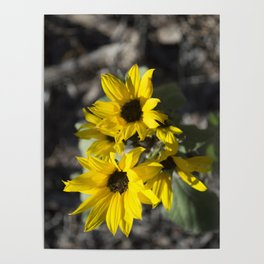 Bosque Sunflowers Poster