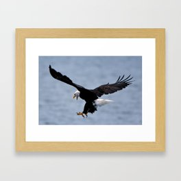 Bald Eagle Attack Framed Art Print