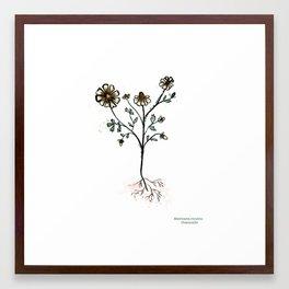 Matricaria recutita Framed Art Print