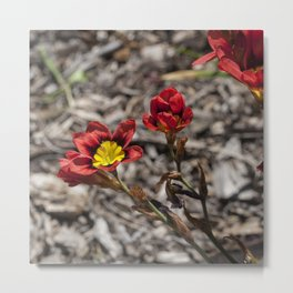 Little Sparaxis Metal Print