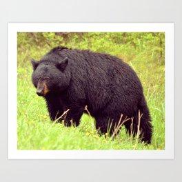 Black Bear Kootenay Nationl Park Art Print