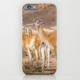 Group of Guanacos at Patagonia, Argentina iPhone Case