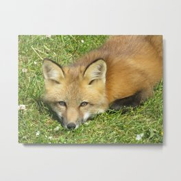 FOX - 1 - LOOKING STRAIGHT AT YOU Metal Print