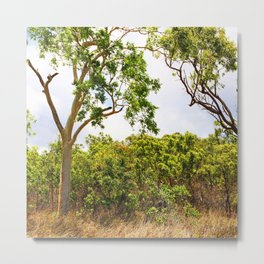 Eucalyptus trees in the bush Metal Print