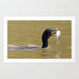 Double-Crested Cormorant with Sushi Art Print