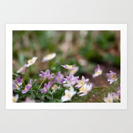 Purple Wood Anemones Art Print