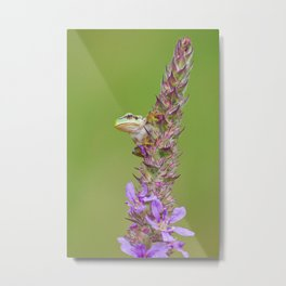 The little green frog Metal Print