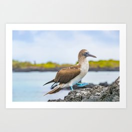 Blue-footed booby Galapagos bird Art Print