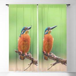 Common Kingfisher (Alcedo atthis) Eurasian Kingfisher Bird sitting on a Branch Blackout Curtain