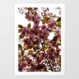 Malus Brandywine Crabapple Blossom Art Print