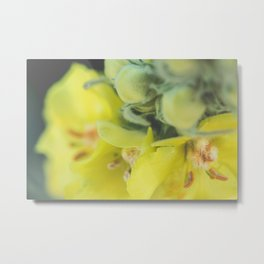 Close-up of a great mullein flower Metal Print