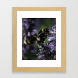 Bumblebee on Lamiaceae agastache II Framed Art Print