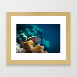 Spotted hawkfish Framed Art Print