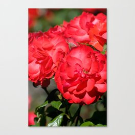 Flowerheads of red roses Canvas Print