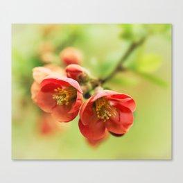 Chaenomeles flowers Canvas Print
