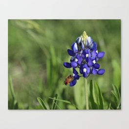 Bluebonnet Buzzer Canvas Print