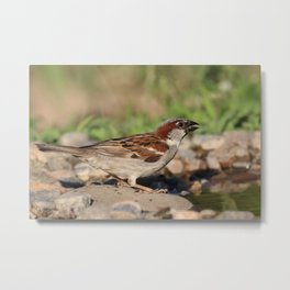 sparrow ready to drink water, but is cautious Metal Print