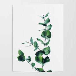 Eucalyptus branch Poster
