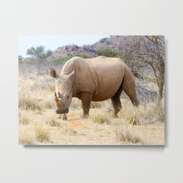 Curious Rhinoceros at Mokala National Game Park, South Africa Metal Print