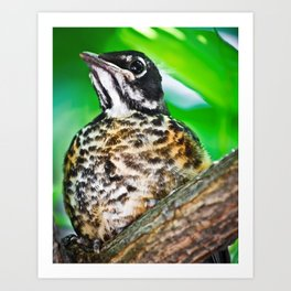 Young Robin Out on a Limb Art Print