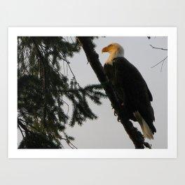 Bald Eagle 14 Art Print