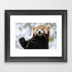 Red Panda 3 Framed Art Print
